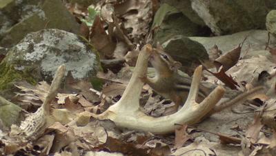 Chipmunk gnawing On Shed Whitetail Deer Antler