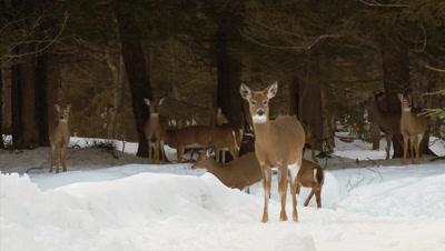 White-tailed deer (whitetails): Deer In Hemlock Forest (winter)
