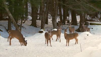 White-tailed deer (whitetails): Deer In Hemlock Forest (winter) Run