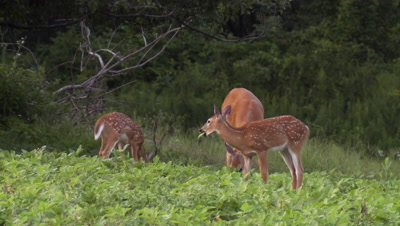 White-tailed deer (whitetail) Doe and fawns grazing in soybean field