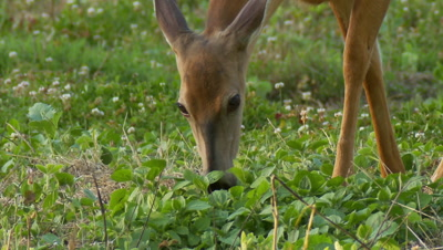 White-tailed deer (whitetail) Doe Grazing In Soybean Feld