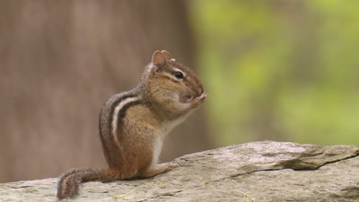 Eastern Chipmunk cleaning face with paws