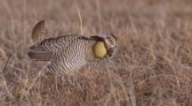Prairie Chickens, Booms, Dance
