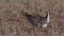 Prairie Chickens, Males, Booming, Display,