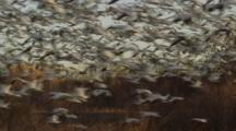 Flock of Snow Geese Take off by the Thousands