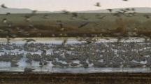 Snow Geese  Fly Off Lake