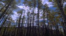 Aspens Trees Fall Pov