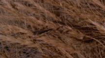 Wheat Field Grass Hopper, Locust