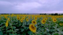 Sunflower  Time Lapse