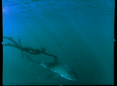 Great White Shark Followed By Free Diver