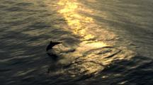 Aerial Over Dolphin Leaping At Sunset
