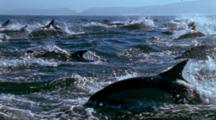 Huge Pod Of Dolphins Swim On Surface, Slow Motion