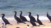 Cormorants Rest On A Beach
