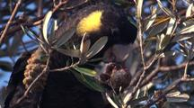 Yellow-Tailed Black-Cockatoo Forages On A Banksia Cone