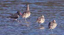 A Pied Oystercatcher Limps Past Three Eastern Curlews