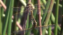 Mating Mosquito Hawk Dragonflies