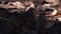 Red-Browed Finches Near A Water-Trickle