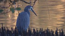 White Faced Heron Hunts In The Mangroves