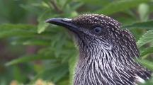 Little Wattlebird Looks Around