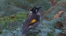 New Holland Honeyeater Snaps Up Flying Insects And Returns Twice