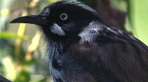New Holland Honeyeater Looks Around, 'head And Shoulders' Only
