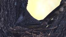 Little Wattlebird Arrives At Nest And Incubates Eggs