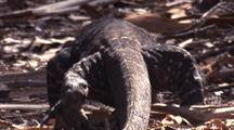 Lace Monitor Walks, Close Shot From Behind