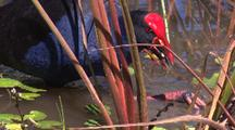 Purple Swamphen Forages On The Roots Of Water Plants