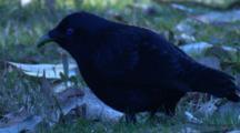 A Male Satin Bowerbird Feeds On Grass