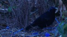 A Male Satin Bowerbird At The Bower