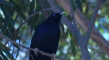 A Male Satin Bowerbird Rests On A Branch