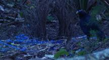Male Satin Bowerbird At The Bower