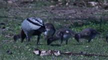 Australian Wood Duck With Chicks Forage On Grass