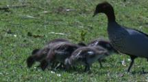 Australian Wood Duck Family With Chicks Forage On Grass