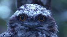 A Juvenile Tawny Frogmouth Looks At The Camera