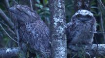 Nocturnal Tawny Frogmouths Spend The Day Dozing On A Branch
