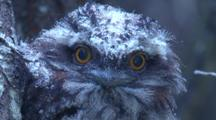 A Juvenile Nocturnal Tawny Frogmouth Observes The Surrounds