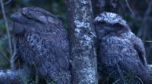 Tawny Frogmouths Spend The Day Sleeping And Dozing