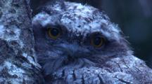 A Nocturnal Juvenile Tawny Frogmouth Continues Its Sleep