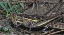 Short-Horned Grasshopper, Possibly Locust Species