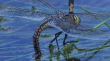 A Female Dragonfly Attaches Eggs To Aquatic Plants