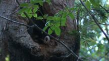 A Pair Of Ringtail Possums Sleep In This Tree Cavity By Day