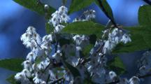 Honeyebees Collect Pollen On White Blueberry Ash Flowers