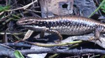 An Eastern Water Skink Warns Its Rival With Head Bobbing