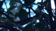 A Diamond Python Hunts On A Tree In The Dim Rainforest