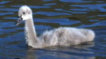 A Cygnet Is Passed By A Chestnut Teal