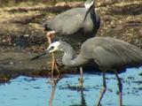 White-Faced Herons With Breeding Plumage Forage In A Rock Pool