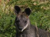 A Swamp Wallaby Poses For The Photographer