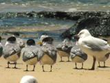 Crested Terns Take A Break From Fishing On The Beach