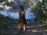 A Wallaby On A Walkway Watches The Photographer